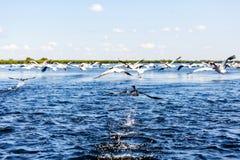 Птицы воды летания в перепаде Дуная Стоковая Фотография