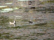 Птицы воды Стоковые Фотографии RF
