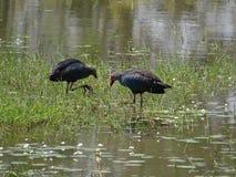 Птицы воды Стоковая Фотография RF