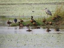 Птицы воды Стоковое Изображение RF