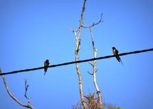птицы двухпроводные Стоковое Фото