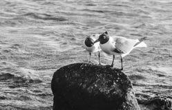 Птицы в влюбленности в младенце приставают к берегу, Аруба Стоковое Изображение RF