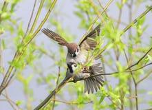 2 птицы в воробье весны влюбленности на ветвях деревьев Стоковое Изображение RF
