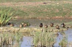 Птицы в заповеднике Hula стоковые фотографии rf