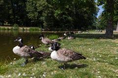 Птицы в королевском саде Drottningholm, Стокгольме, Швеции Стоковая Фотография RF