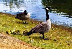 Птицы в парке - Лондоне - Англии Стоковые Изображения