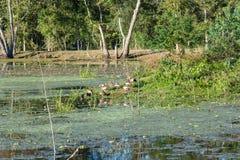 Птицы в парке штата загиба Brazos около Хьюстона, Техаса Стоковые Фотографии RF