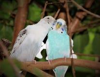 Птицы влюбленности и дерево Стоковое Изображение RF