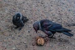 2 птицы галки сидя на асфальте Стоковое Изображение RF