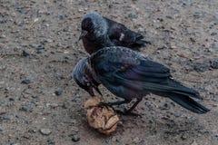 2 птицы галки сидя на асфальте Стоковые Изображения RF