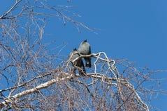 Птицы галки наблюдая солнце в зиме Стоковое фото RF