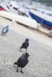 Птицы галки Стоковая Фотография RF