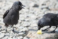2 птицы галки Стоковое Изображение RF