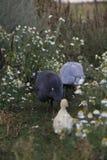 2 птицы Гвинеи и маленькой индийской девушка стоковая фотография