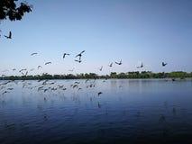Птицы голубя летая на озеро природы неба почти Стоковая Фотография