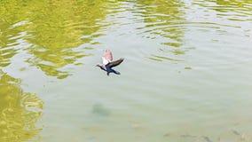 Птицы голубя летая на реку природы неба почти Стоковая Фотография