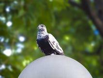 Птицы голубя в влюбленности приправляют в парке Стоковые Фото