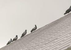 Птицы голубя или голубя группы/стада на крыше Стоковая Фотография RF