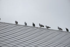 Птицы голубя или голубя группы/стада Стоковые Изображения RF