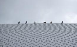 Птицы голубя или голубя группы/стада Стоковое Изображение