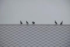 Птицы голубя или голубя группы/стада Стоковое фото RF