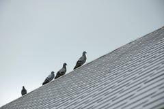 Птицы голубя или голубя группы/стада Стоковое Фото