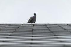 Птицы голубя или голубя на черепице Стоковое Фото