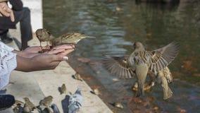 Птицы есть из руки Стоковое Изображение RF