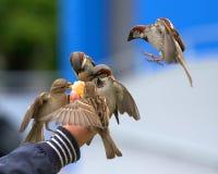 Птицы есть от руки стоковое фото