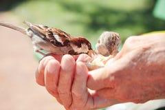 Птицы есть хлеб над рукой старика в парке. Стоковые Фото