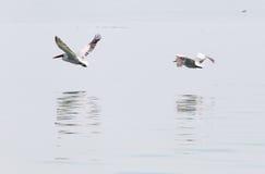 Птицы летают над поверхностью воды Стоковое фото RF