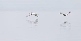 Птицы летают над поверхностью воды Стоковая Фотография RF