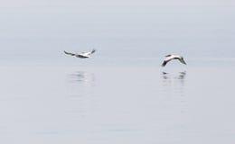 Птицы летают над поверхностью воды Стоковое Фото