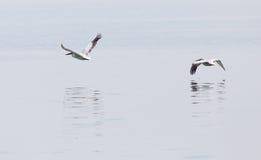 Птицы летают над поверхностью воды Стоковая Фотография