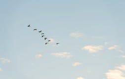 Птицы летая в голубое небо Стоковые Фото