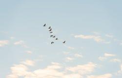 Птицы летая в голубое небо Стоковые Изображения