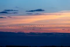 птицы летая заход солнца Стоковые Изображения