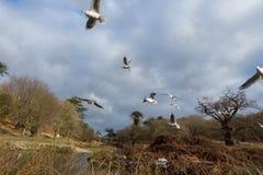 Птицы летая над рекой Стоковая Фотография RF