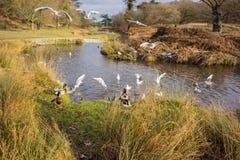Птицы летая над рекой Стоковые Фото