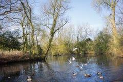 Птицы летая над рекой Стоковые Изображения RF