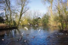 Птицы летая над рекой Стоковая Фотография