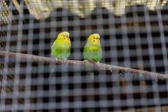 2 птицы желтых зеленого цвета канереечных за железной клеткой Стоковая Фотография