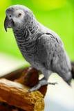 Птицы, животные Попугай африканского серого цвета, Jako Перемещение, туризм тайско Стоковое Изображение RF