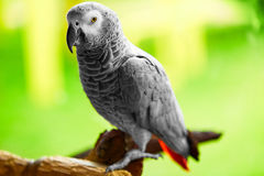Птицы, животные Попугай африканского серого цвета, Jako Перемещение, туризм тайско Стоковое фото RF