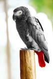 Птицы, животные Попугай африканского серого цвета, Jako Перемещение, туризм тайско Стоковые Фото