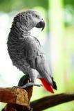 Птицы, животные Попугай африканского серого цвета, Jako Перемещение, туризм тайско Стоковая Фотография