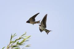 Птицы заглатывают летание в небе рядом с распространением свои крыла Стоковое фото RF