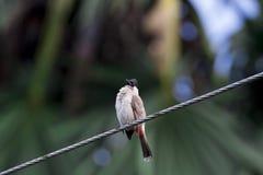 Птицы зацепляют деревья, звуки природы, Buibui Стоковые Фото