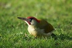 ПТИЦЫ - Зеленый Woodpecker/Dzięcioł zielony стоковые изображения
