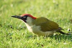 ПТИЦЫ - Зеленый Woodpecker/Dzięcioł zielony стоковая фотография rf